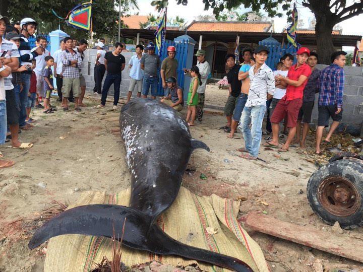 Dùng xe cẩu đưa xác cá voi hơn hai tấn vào bờ - ảnh 1