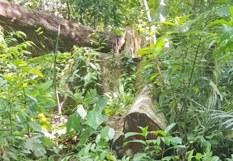 Phú Yên: Điều tra mở rộng, phát hiện thêm vụ phá rừng 'khủng' - ảnh 1