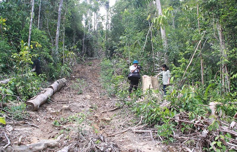 Phú Yên: Điều tra mở rộng, phát hiện thêm vụ phá rừng 'khủng' - ảnh 5