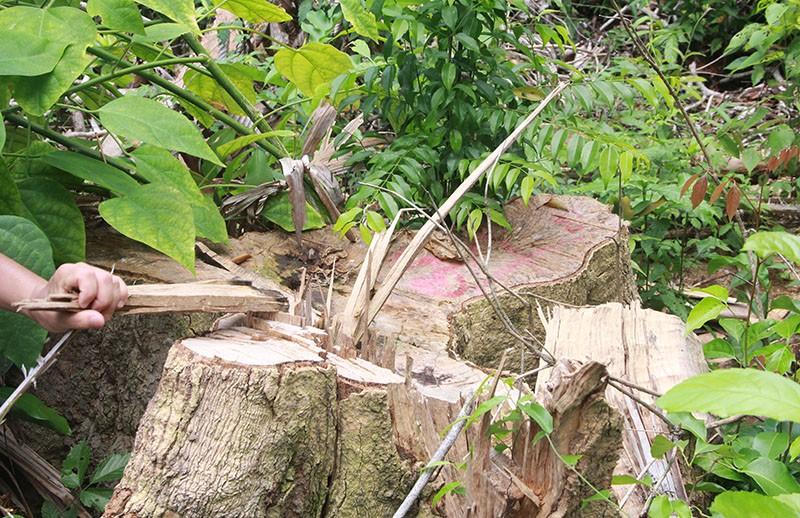 Phú Yên: Điều tra mở rộng, phát hiện thêm vụ phá rừng 'khủng' - ảnh 3