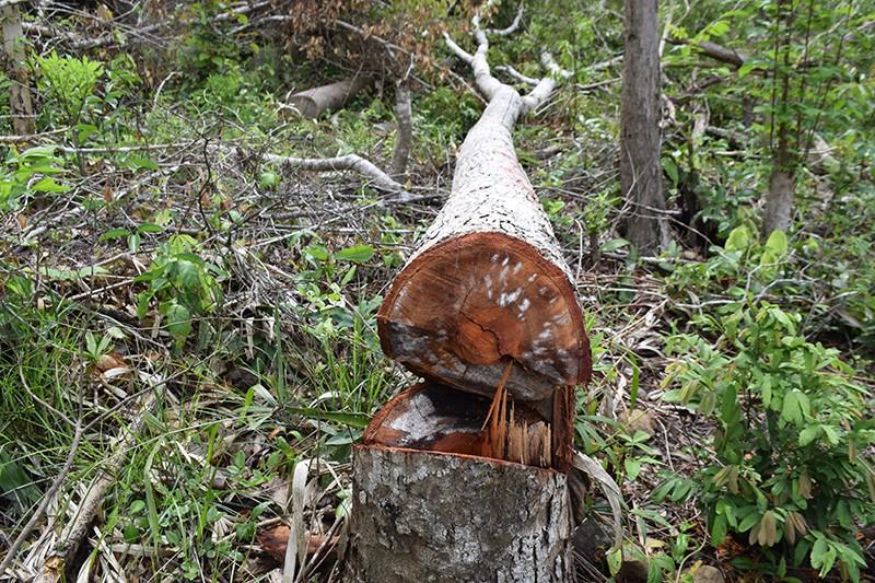 Nhà nhân viên bảo vệ rừng ở Phú Yên cất giấu nhiều gỗ trái phép  - ảnh 2