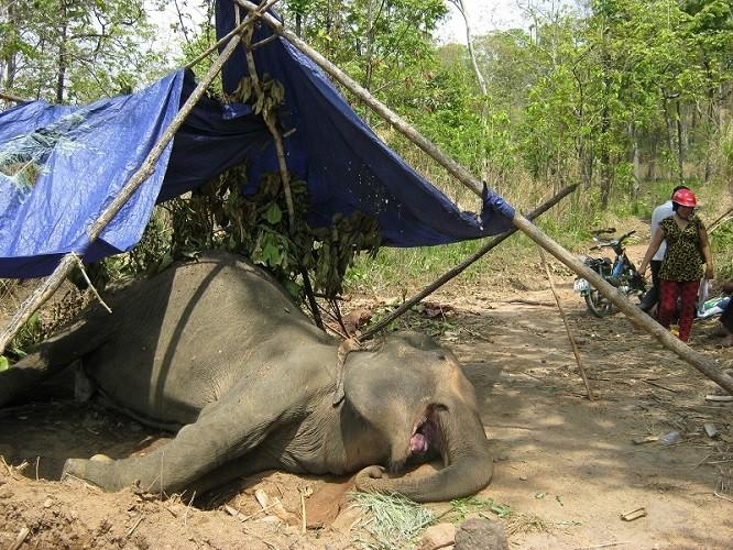 Đắk Lắk: Voi nhà lại gục chết vì kiệt sức - ảnh 1