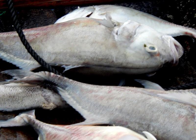 Cá chết trắng lồng, người dân nặng nỗi lo mang nợ - ảnh 2