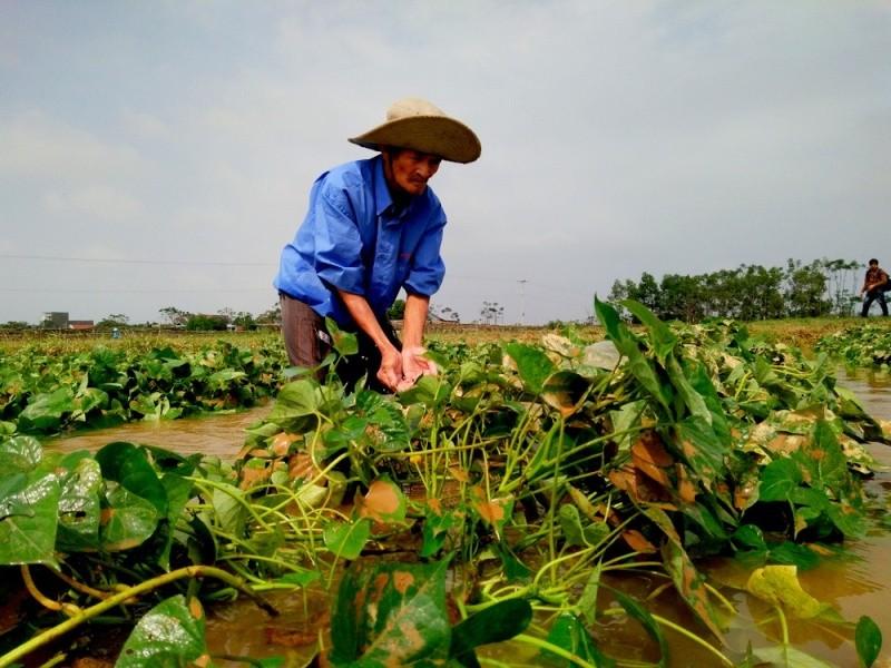 Giá nông sản tăng mạnh sau lũ vẫn không có hàng bán - ảnh 3