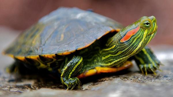 Rao bán rùa mini: phạt nặng không ngờ  - ảnh 2