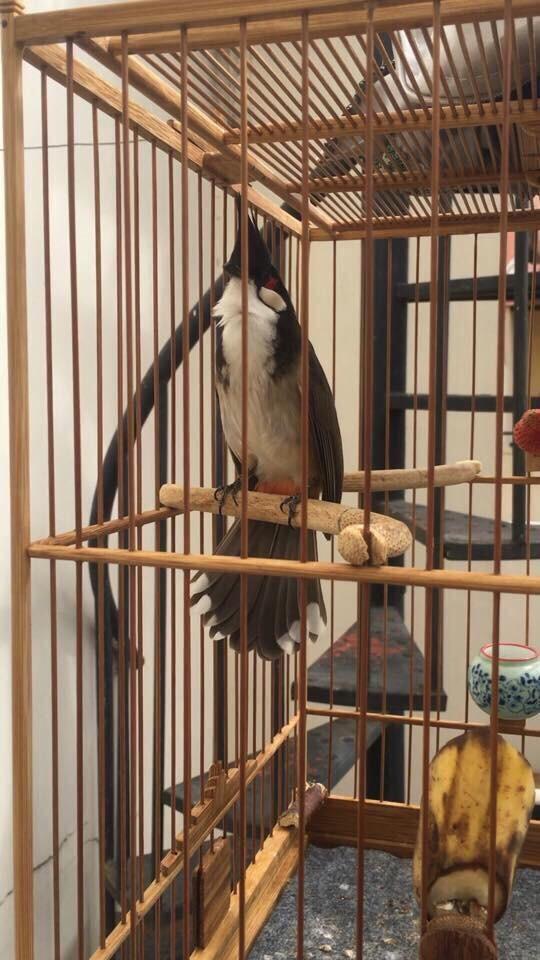 Ai đã lấy trộm con chim chào mào của chủ quán cà phê? - ảnh 1
