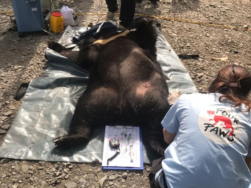 Người dân tự nguyện giao nộp cá thể gấu ngựa nặng 139 kg - ảnh 1