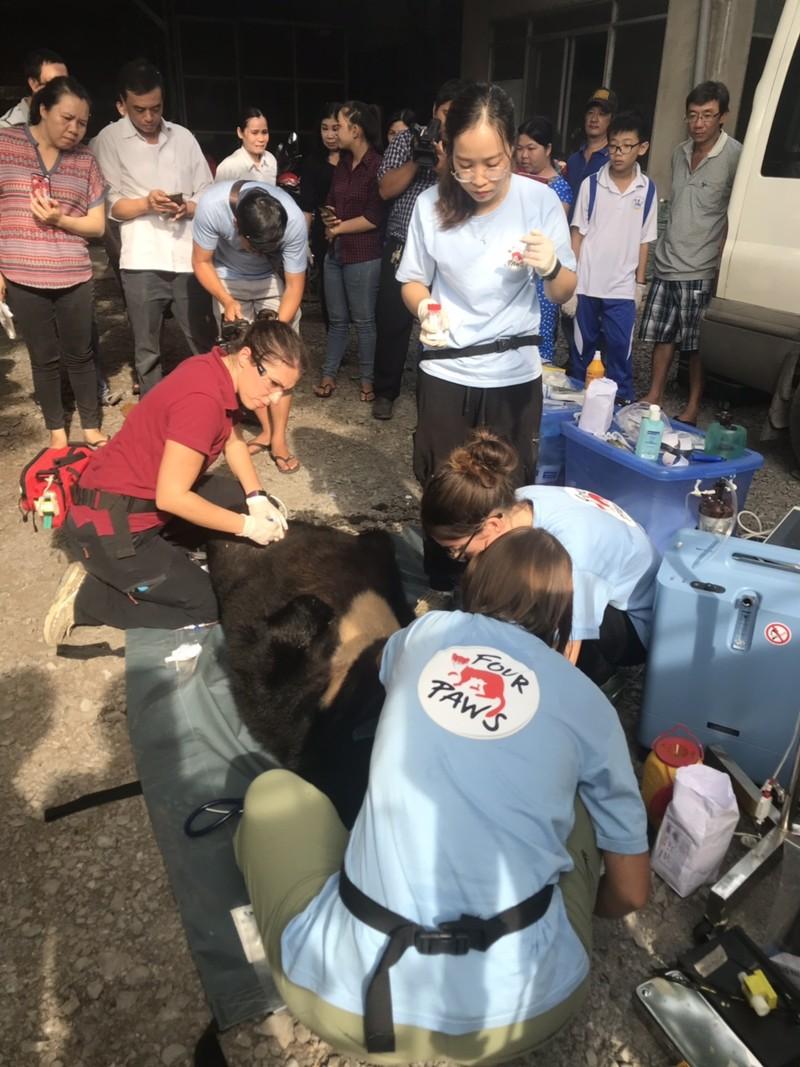 Người dân tự nguyện giao nộp cá thể gấu ngựa nặng 139 kg - ảnh 2