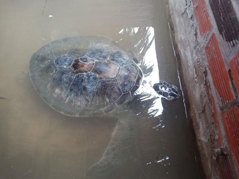 Con vích nặng 18kg dạt vào bờ biển trong cơn bão số 9 - ảnh 2
