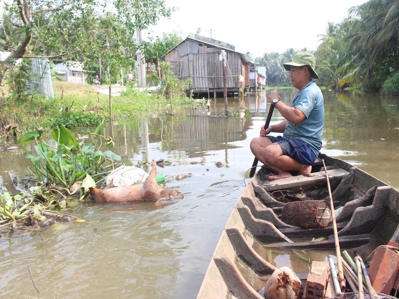 Xác heo chết vì dịch nổi đầy trên sông ở Bến Tre - ảnh 5
