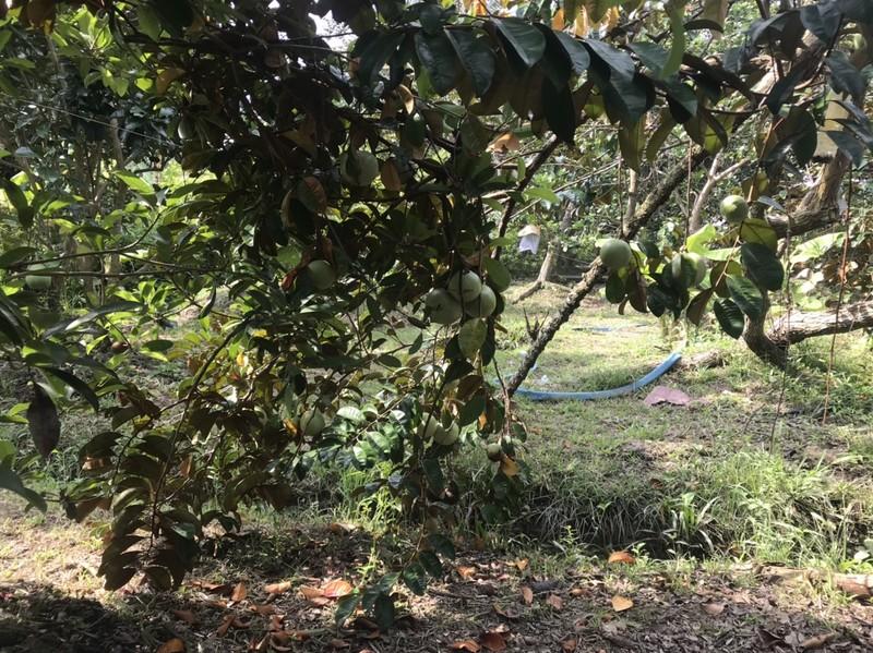 Hạn mặn đe dọa trên 80.000 ha cây ăn trái ở Tiền Giang  - ảnh 3