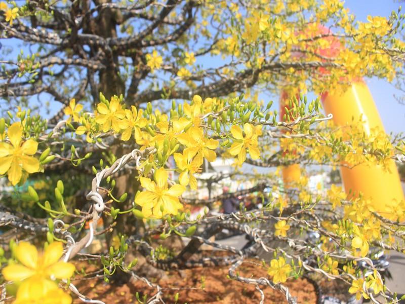 Chiêm ngưỡng cây mai cổ thụ 100 tuổi được chào bán 1,5 tỉ đồng - ảnh 2
