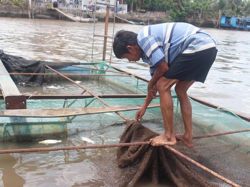 Cá bè trên sông Tiền chết nhiều, chưa rõ nguyên nhân - ảnh 3