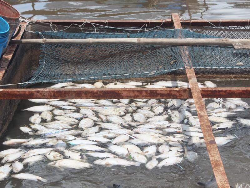 Cá bè trên sông Tiền chết nhiều, chưa rõ nguyên nhân - ảnh 2