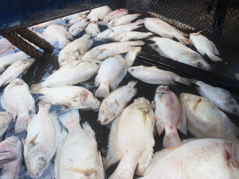 Cá bè trên sông Tiền chết nhiều, chưa rõ nguyên nhân - ảnh 1