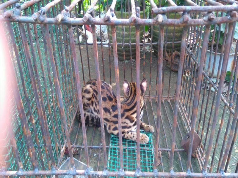 Bàn giao cá thể tê tê, khỉ, mèo rừng quý hiếm về khu bảo tồn - ảnh 3