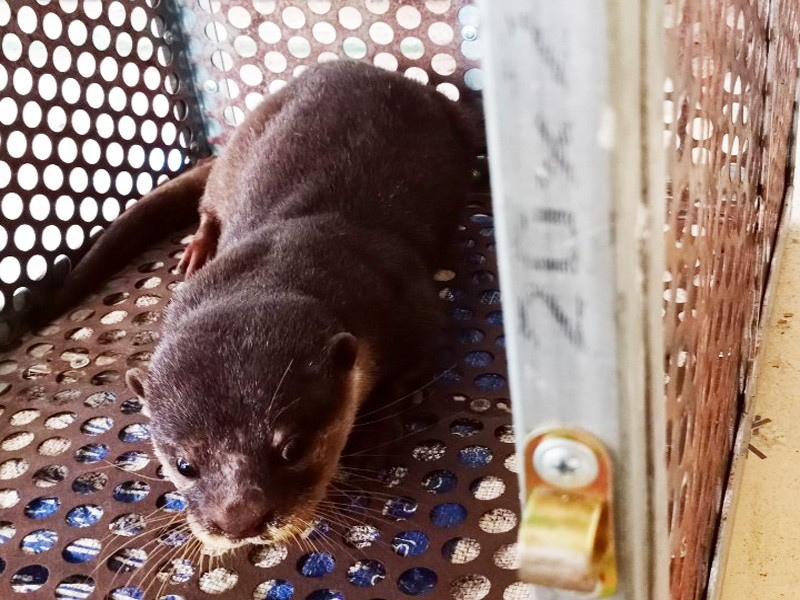 Người dân giao nộp rái cá vuốt bé quý hiếm cho trạm bảo tồn - ảnh 1