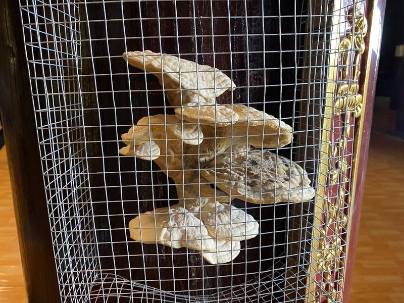 Cây nấm lớn mọc ra từ cột gỗ lim trong ngôi chùa ở Cà Mau - ảnh 1